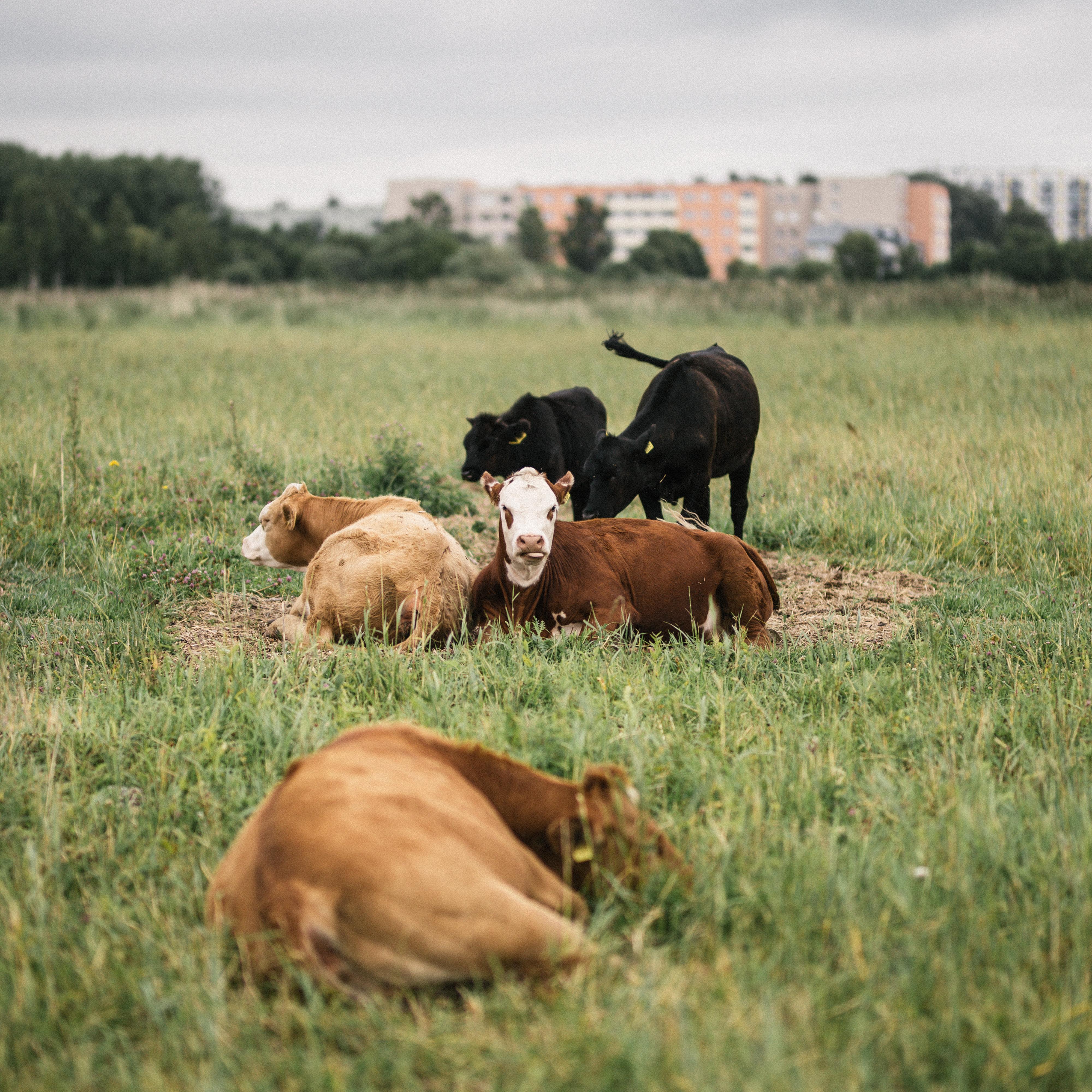 lehmad Pärnus