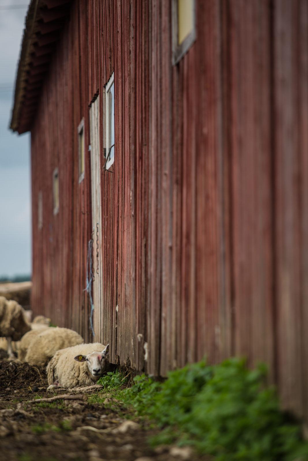 Avatud talude päeval lammas kuuri nurgas maas